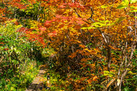 Autumn colorful foliage of japanese forest at Onuma Pond walking trail