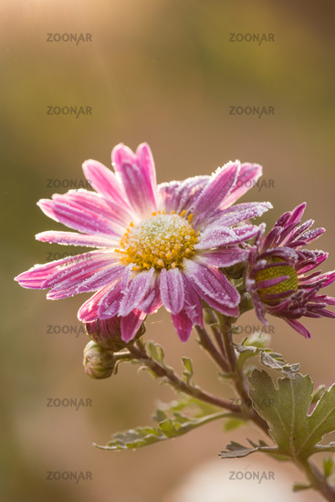 Rare pink Chrysanthemum. Autumn hoarfrost flowers. Chrysanthemum zawadskii.