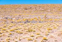 Chile Atacama desert guanacos in nature