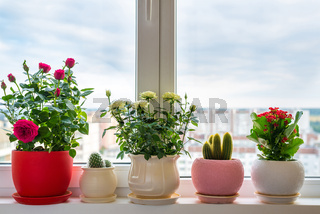 roses, cacti and calanchoe stand on windowsill