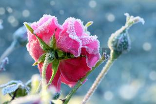 Blumen 871