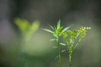 herbaceous plant with flowers on a blurred background