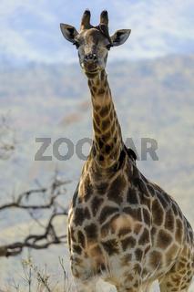 Giraffe (Giraffa camelopardalis), KwaZulu-Natal, South Africa, Africa