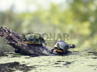 Florida turtles sunning in wetlands