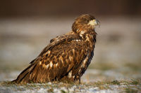 Juvenile white-tailed eagle, haliaeetus albicilla, in winter sitting on a snow.