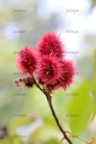 herb (Bixa orellana L.) bixaceae