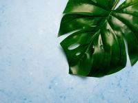 Monstera leaf on blue background