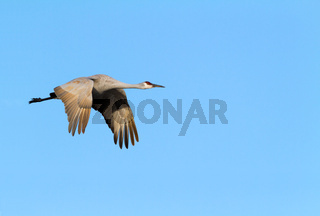 Sandhill Crane in flight Early Morning blue sky