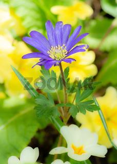 Purple windflower in the garden
