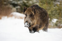 Big wild boar wading through deep snow in winter with snowflakes falling around