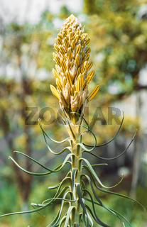 Inflorescence of flower buds