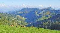Cow herd on the Mount Rigi in Switzerland