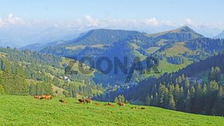 Kuhherde auf der Rigi in der Schweiz