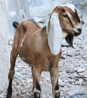 Young nubian goat