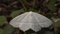 Butterfly Hemistola chrysoprasaria