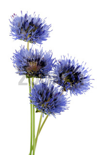 Four miniature blue field cornflowers on thin green stems