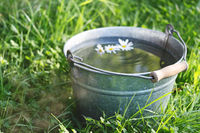 Camomiles floats in a bucket full of clean water