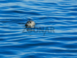 close up of a harbor seal surfacing for a breath in monterey bay
