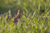 Skylark * Alauda arvensis * sitting on the ground