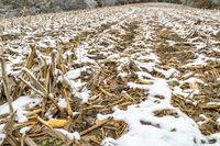 Harvested corn field in fall scenery
