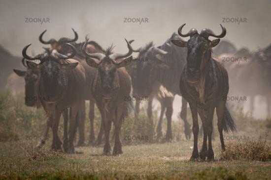 Blue wildebeest stand still in dusty migration