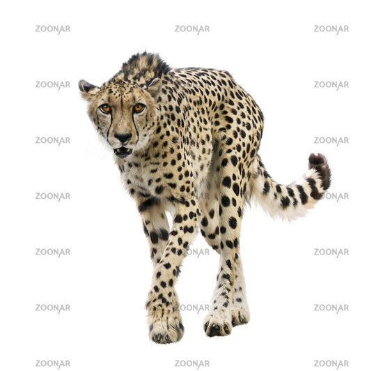 Cheetah Portrait  on white background