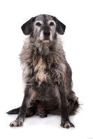 Old mixed breed dog isolated on white