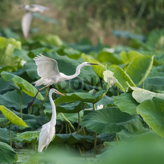 egret closeup in lotus pond