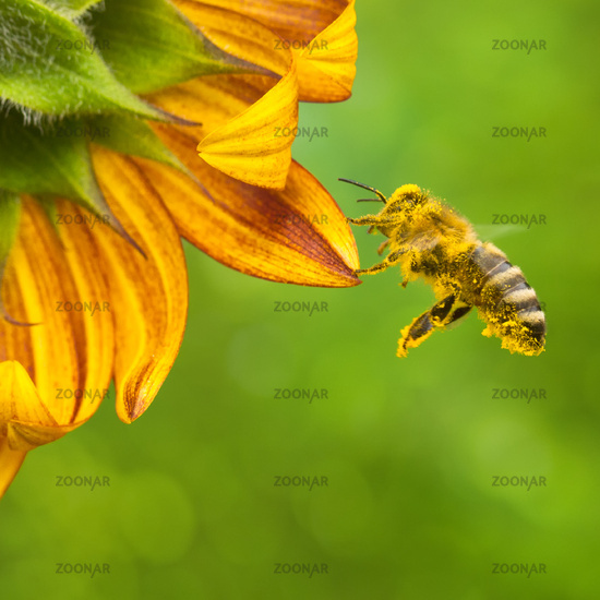 Honeybee collecting nectar from a beautiful yellow sunflower. Ecology
