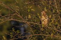 common buzzard - buteo