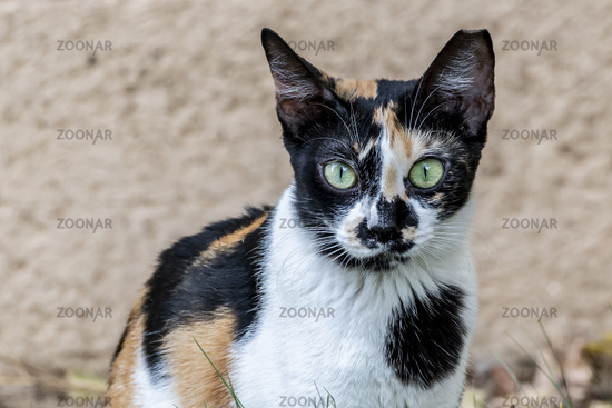 Multicoloured Cat with green eyes