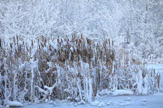 Reed on snow-covered lake