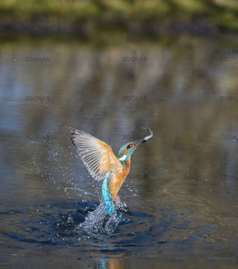 European Common Kingfisher diving, Alcedo atthis, Eisvogel tauchen