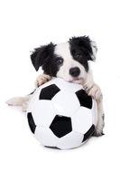 Junger Border Collie als Fußballfan isoliert auf weißem Grund