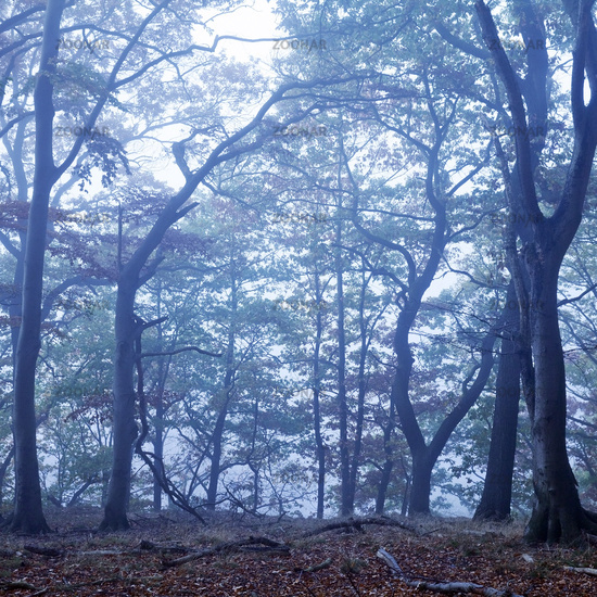 Mysterious foggy forest landscape at dawn, Witten, North Rhine-Westphalia, Germany, Europe