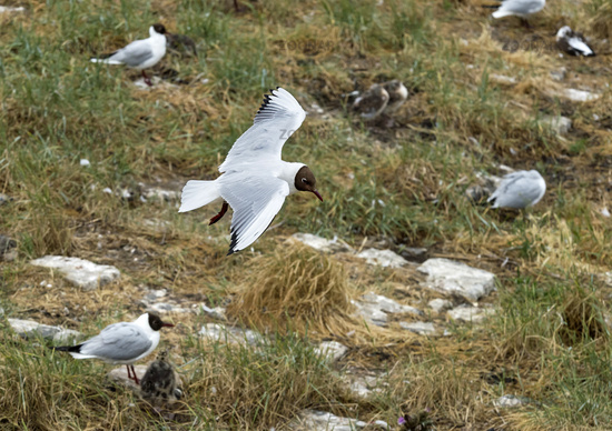 Black-headed gull (Chroicocephalus ridibundus) flying above a breeding colony, Germany