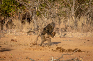 Chacma baboon walking away with something.