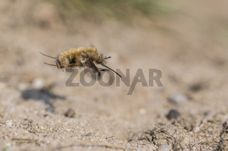 Grosser Wollschweber, Bombylius major, Large Bee Fly