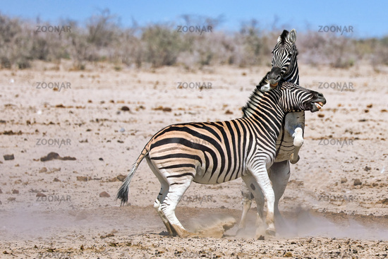 fighting zebras, Etosha National Park, Namibia