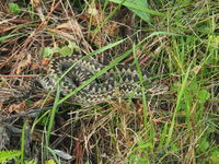 Common European adder, vipera berus