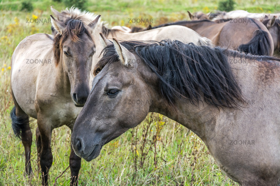 Closeup shot of flock of beautiful wild horses (Konik)