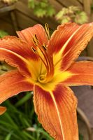 Orange lily blossom