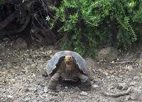 Galapagos giant tortoise (Geochelone nigra hoodensis), Santa Cruz, Galapagos Islands, Ecuador