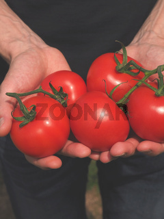 Man with fresh organiv tomatoes