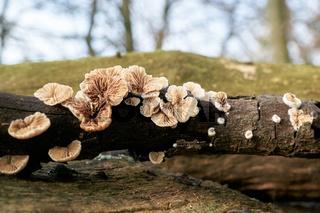 gemeiner Spaltblättling (Schizophyllum commune)