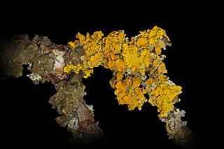 Gelbflechte (Xanthoria parietina)