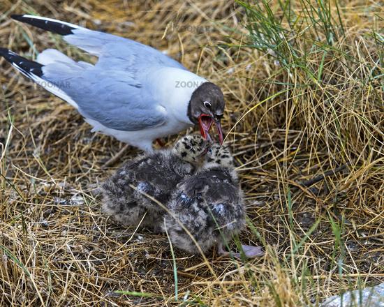 Black-headed gull (Chroicocephalus ridibundus) feeding its chicks