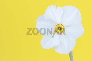 Eine weiße Narzisse, Osterglocke vor gelben Hintergrund, Nahaufnahme.