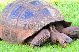 beim fressen von Gras Galapagos Schildkröte