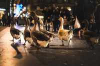 Group of geese walking down the street before the attentive gaze of the people
